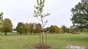 Poznań: Warciarze zasadzili drzewo na Łęgach Dębińskich