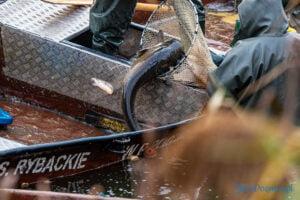 jezioro malta odlow ryb fot. slawek wachala 4421 300x200 - Poznań: W Malcie trwa... wielkie łowienie ryb