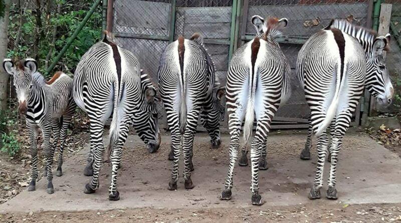 nowa zebra na wybiegu fot. Zoo Poznań