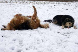 zabawa na sniegu fot. zoo poznan 300x200 - Poznań: Zabawy na śniegu w zoo