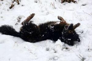 zabawa na sniegu fot. zoo poznan.2 300x200 - Poznań: Zabawy na śniegu w zoo