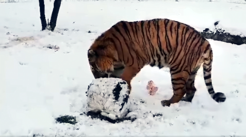 Zabawa na śniegu, Gogh fot. Zoo Poznań