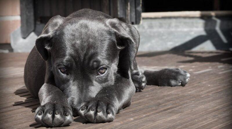 pies, zdjęcie poglądowa fot. pixabay