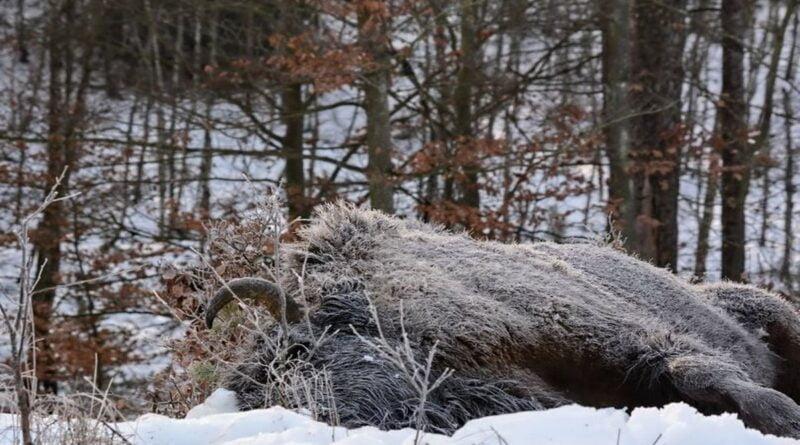 potrącony żubr fot. P. Buczkowski, Nadleśnictwo Zdrojowa Góra
