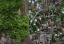śnieżyce w Śnieżycowym Jarze fot. S. Wąchała