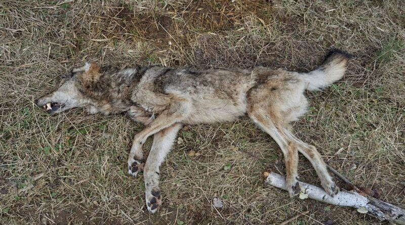 martwy wilk fot. Nadleśnictwo Bolewice