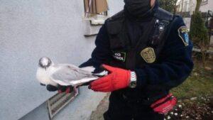 mewa fot. smmp 300x169 - Poznań: Wycieńczony myszołów, ranna mewa i 50 innych zwierząt