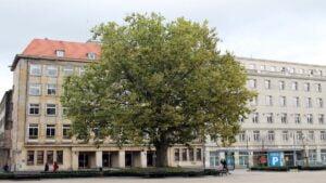 platan plac wolnosci fot. t. dworek 300x169 - Poznań: Czy platany w centrum powinny być pomnikami przyrody?