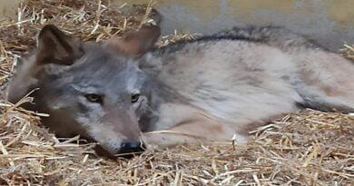 wilk Aureliusz fot. Zoo Poznań.