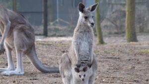 kangury z mlodymi fot. zoo poznan 300x169 - Poznań: W zoo urodziły się kangury!