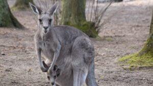 kangury z mlodymi fot. zoo poznan2 300x169 - Poznań: W zoo urodziły się kangury!