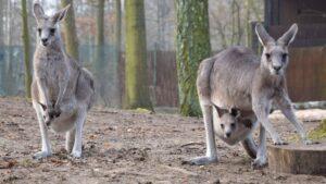 kangury z mlodymi fot. zoo poznan3 300x169 - Poznań: W zoo urodziły się kangury!