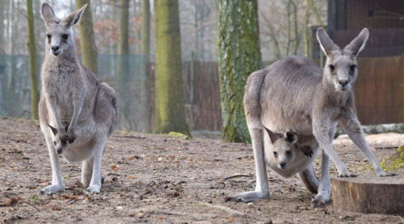 kangury z młodymi fot. Zoo Poznań