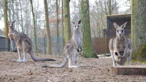 kangury z mlodymi fot. zoo poznan4 300x169 - Poznań: W zoo urodziły się kangury!
