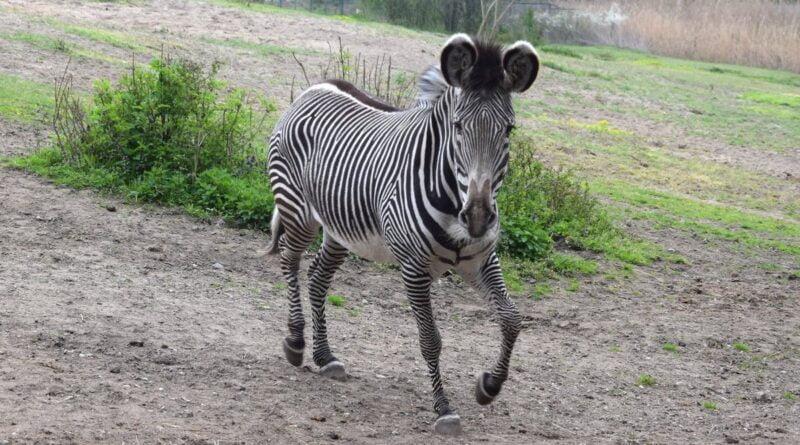nowa zebra fot. Zoo Poznań