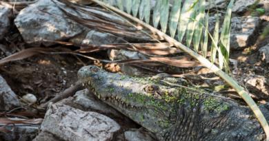 samica krokodyla fot. UPP