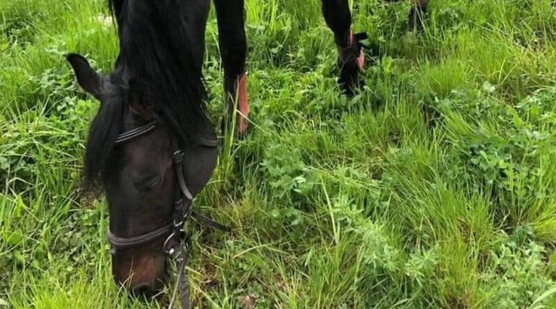zaginiony koń, Szczepankowo-Spławie-Krzesinki fot. ROSSK FB