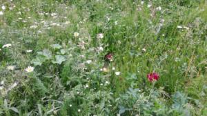 łąka kwietna fot. UPP