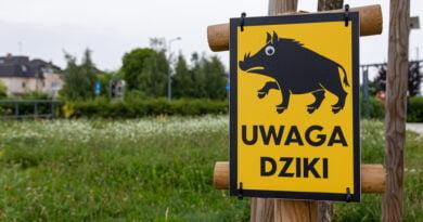 Uwaga dziki dzik Poznań fot. Sławek Wąchała