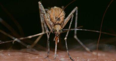 komar fot. pixabay Franco Patrizia