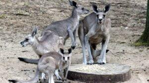 małe kangury fot. Zoo Poznań