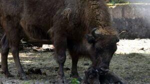 mały żubr fot. Zoo Poznań
