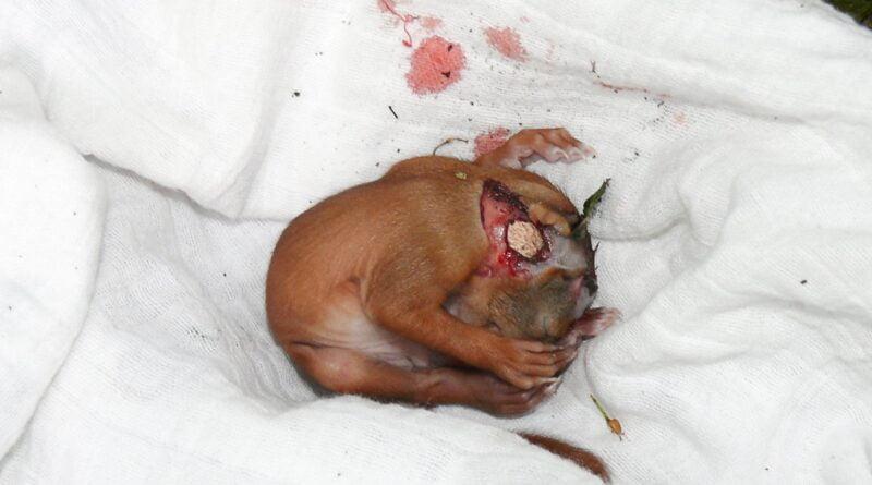 potrącona wiewiórka fot. E. Skowron