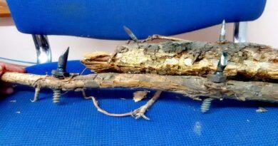 gałęzie z wbitymi wkrętami w lesie fot. P. Nowak, Nadleśnictwo Wronki