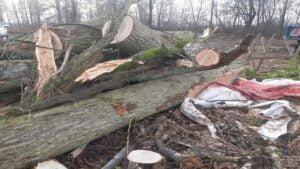 wycięte drzewa fot. RDLP Poznań