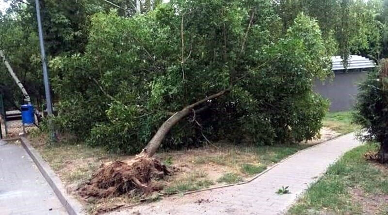 wyrwane drzewo fot. SMMP