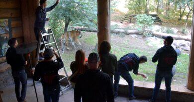 Tygrysy sprzątają zoo fot. Zoo Poznań